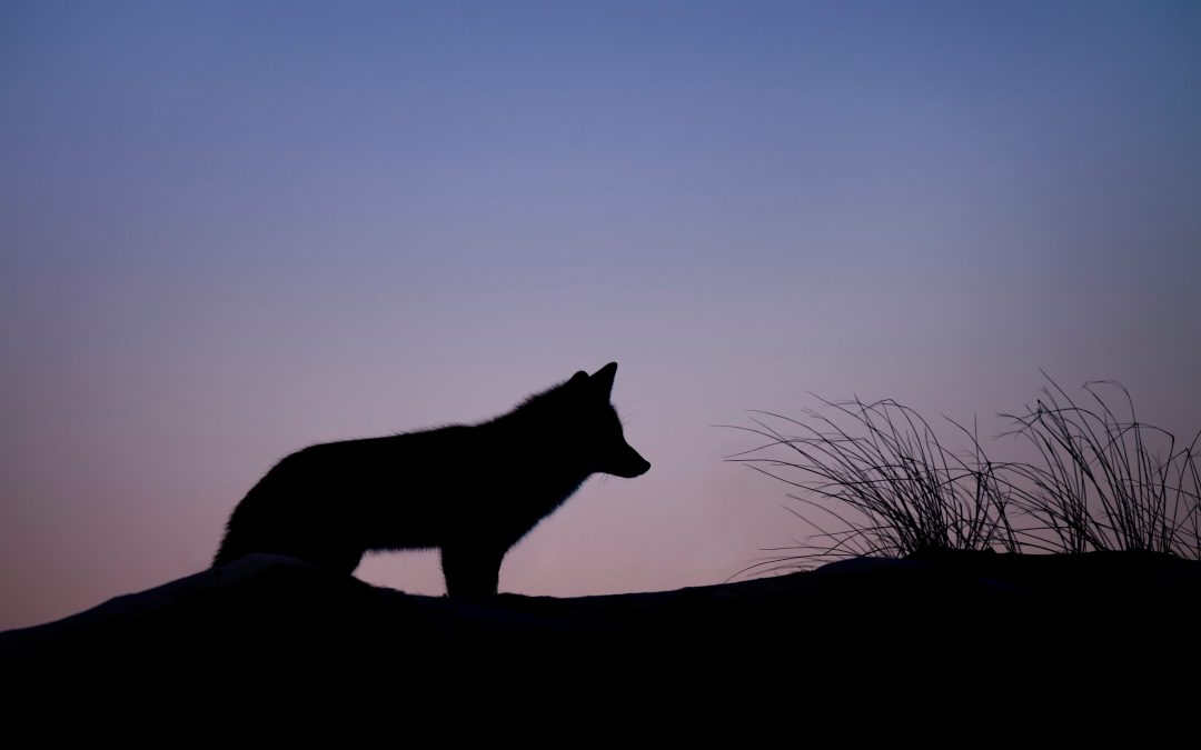 Wolves, the why and how of management